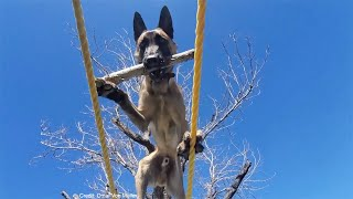 This Dog Can Do Anything !!! Amazing Belgian Malinois