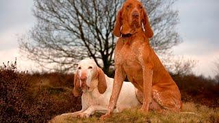 Порода собак.  Итальянский спиноне. Замечательный домашний любимец. Верная и умная собака