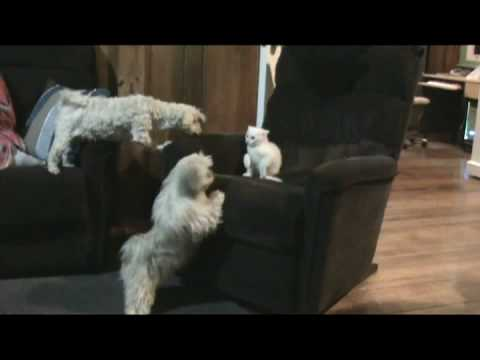 Dog Protects Kitten from Another Dog, Dad Shaggy dicipline his son