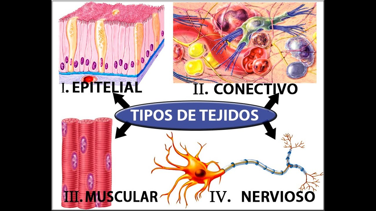 TEJIDOS HUMANOS Dr. Carlos Mamani L WMV - YouTube