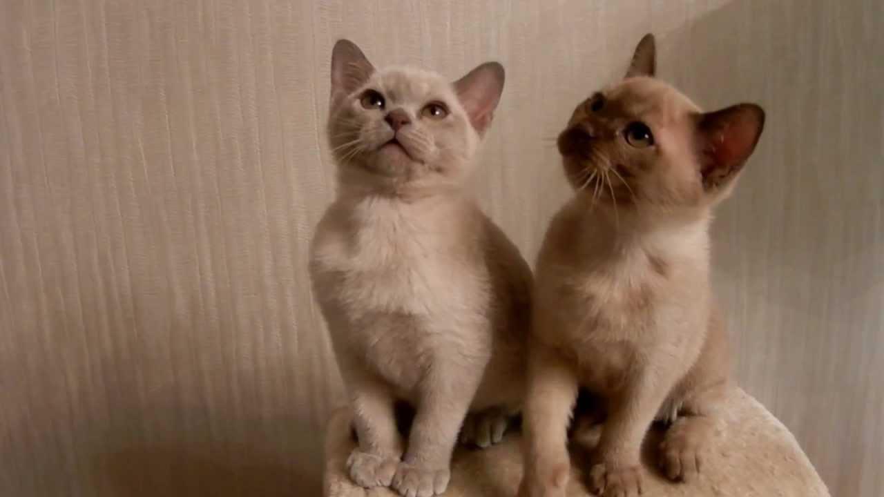 котята шоколадные фото