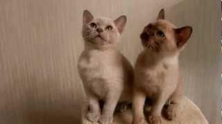 Бурманские котята шоколадная и лиловая