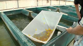 Fish Farm in FLA introducing new Glo Barbs from Segrest
