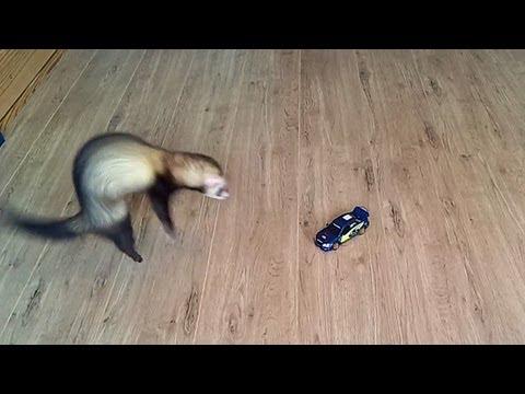 Crazy ferret attacking Subaru Impreza WRC