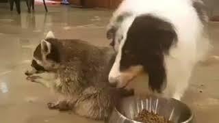 Енот беесовестно ворует еду у собаки