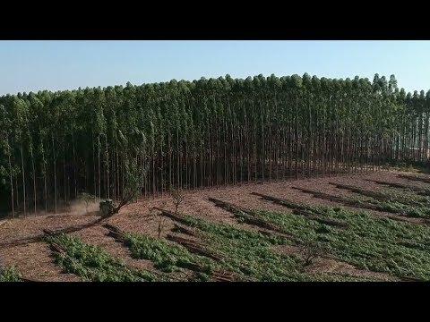 Brazil's Eucalyptus Log Exports Soar