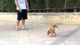 amazing dog plays dead after fake shooting