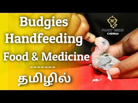 budgies-chicks-(love-birds)-handfeeding-|-food-&-madicine-|-தமிழில்-|-fancy-birds-chennai.