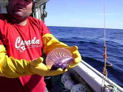 Swordfish Harpooning 2009 captured Portuguese man of war - YouTube
