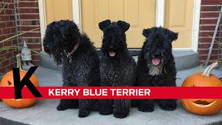 K is for Kerry Blue Terrier