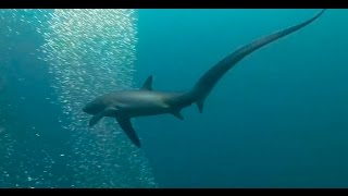 rare shark caught on camera raw footage