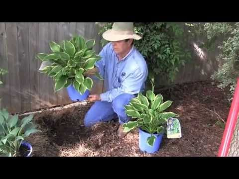 Planting Hostas Youtube
