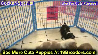 Cocker Spaniel, Puppies, For, Sale, In, South Bend, Indiana, County, In, Allen, Hamilton, St  Joseph
