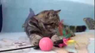 Куплю котенка экзота Москва