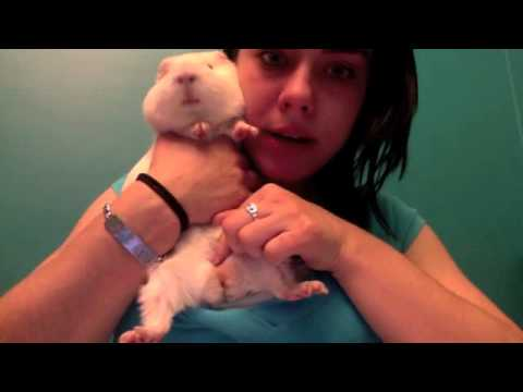How to Tell the Sex of a Guinea Pig - YouTube