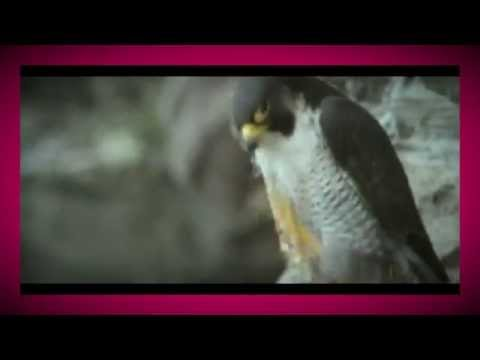 Fastest Flying Bird on Earth - Peregrine falcon