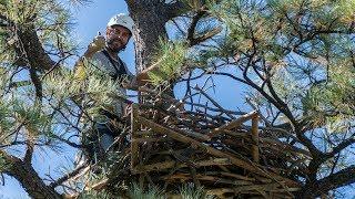 Building a Bald Eagle Nest