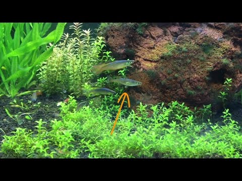 Threadfin Rainbow Fish Spawning