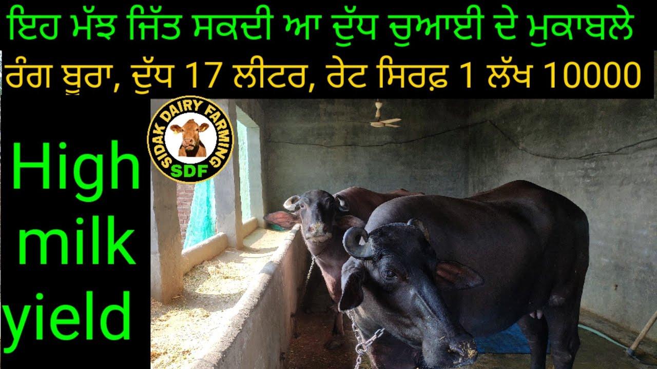 Super quality buffaloes for sale in punjab, ਦੁੱਧ ਚੁਆਈ ਦੇ ਮੁਕਾਬਲੇ ਜਿੱਤ ਸਕਦੀ ਆ ਗਰੇਡਿਡ ਮੱਝ