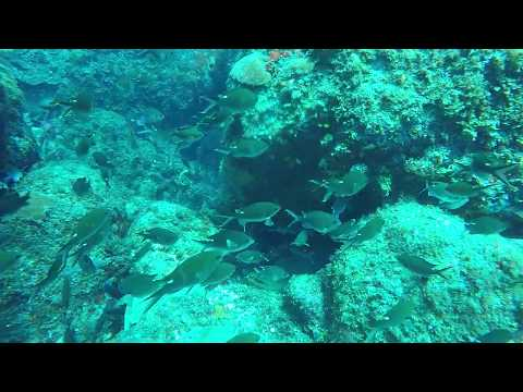 This Green Moray doesn't love his front lawn swarmed by Brown Chromis
