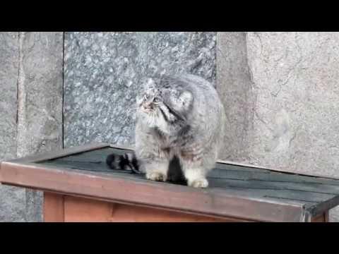 В Московском зоопарке манул не поверил в приход весны