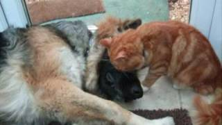 German Shepherd Being Adored By The Cat! Cat Stevens-i Love My Dog