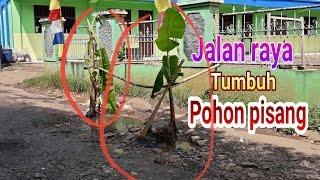 Jalan raya JONGGOL tumbuh pohon pisang..!! kab.BOGOR