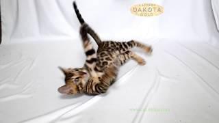 Dakota Gold, официальный питомник бенгальской кошки, бенгальский котенок, на белом фоне Камила 3