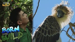Born to Be Wild: Endangered Philippine Eagle seen in the wild