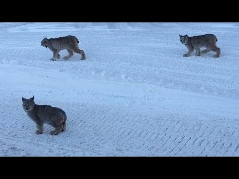 Canadian driver gets a big cat surprise on side of the road