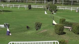 Coursing SM Aarau 2020 Irish Wolfhound Rianna