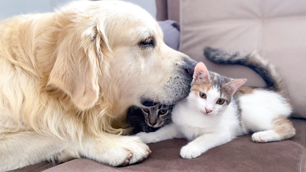 The Golden Retriever is the best friend for baby Kittens!