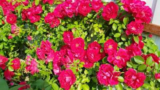 Обзор сада 09.06.2019: розы,  пионы, клематисы.