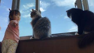家に迷い込んだ巨大ゼミに興奮が隠せない猫 ラガマフィン A cat excited by a cicada who got lost in the house