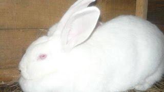 Разведение кроликов   с чего начать