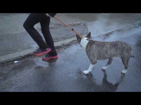 NYBC | Pitbull left to Die on Christmas Eve / Bull Terrier 113 Precinct Rescue