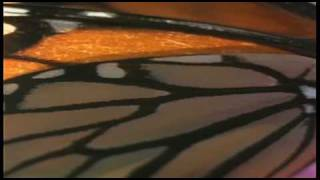 Monarch Butterfly: Feeling the Heat with Jeff Corwin