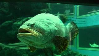 サメをひと飲みするゴリアテ・グルーパー @タイのワーゴー水族館 ゴライアスグルーパー 検索動画 20