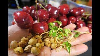 Cách ươm hạt cherry , trồng cây cherry.ở Mỹ,How to grow cherry tree from seed.