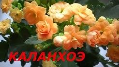 Цветок Каланхоэ /Блоссфельда / Уход и Содержание
