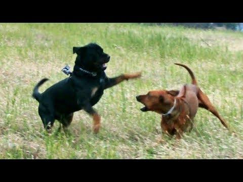 Rottweiler VS Rhodesian Ridgeback, Love Play