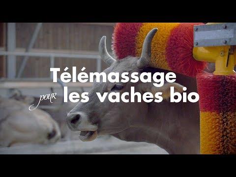 Télémassage pour les vaches bio | Bio Suisse