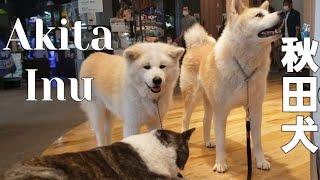 Akita Inu  秋田犬   Akita Dog    Great Japanese Dog   Hachiko's descendants