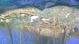 Karzełki łapciaste i kaczki mandarynki