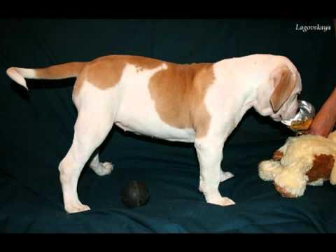 Объявления. Собаки, щенки английский бульдог, цены, торговля, фото, kартинки, продажа.