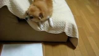 うちの愛犬はお気に入りのソファで家族が帰るのをとっても喜びます。