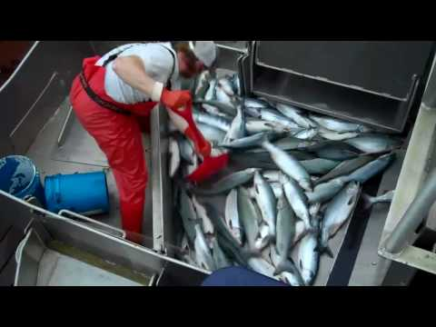 Salmon Tendering aboard the F/V Kodiak Aug 1st, 2010 Video #3