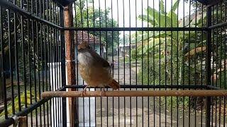 Gambar cover Burung Masteran KAPAS TEMBAK GACOR MBESET Suara Kasar