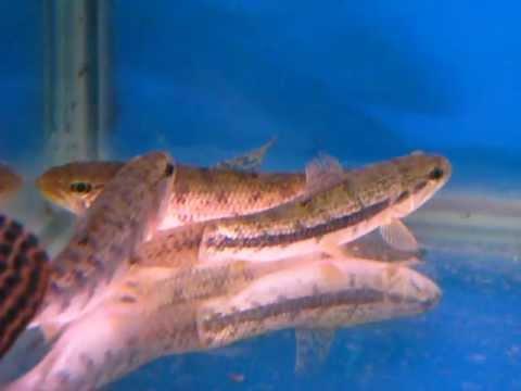 [山水水族]南美牙魚 - YouTube