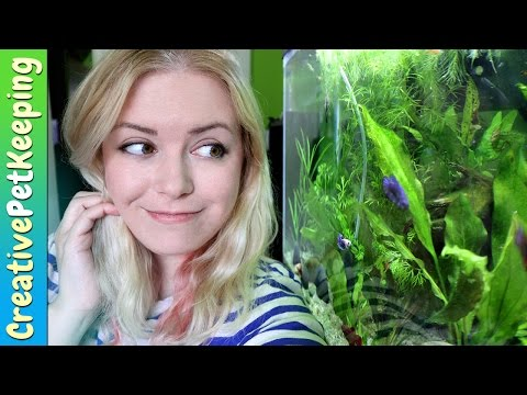 Do Female Betta Fish Fight Each Other | #FishFanFriday